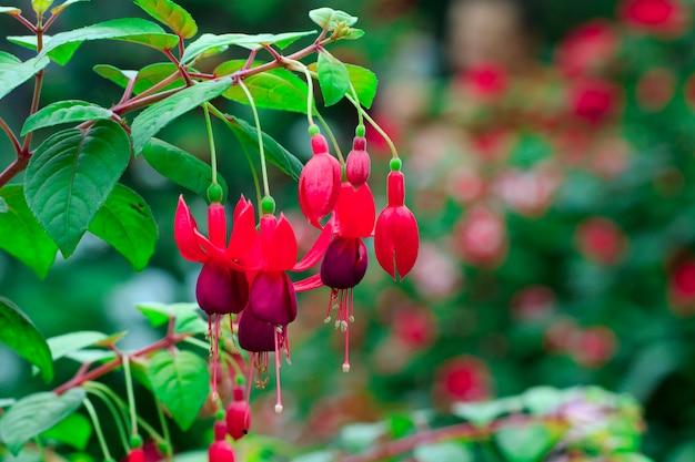 美しいフクシアマゲラニカの花、ハチドリフクシアまたは丈夫なフクシア