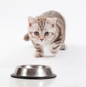 Шотландский котенок несется к миске