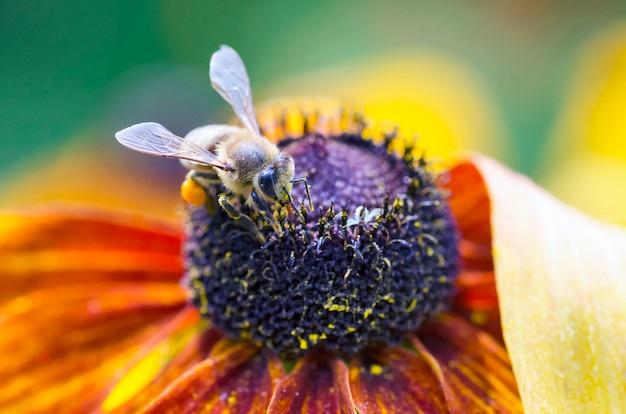 Пчела на черноглазой сьюзен
