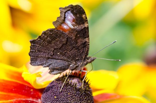 Бабочка на черноглазых сьюзанах