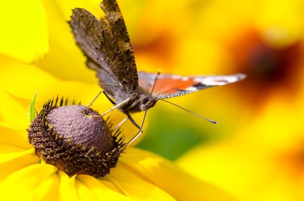 黒い目のスーザンの蝶