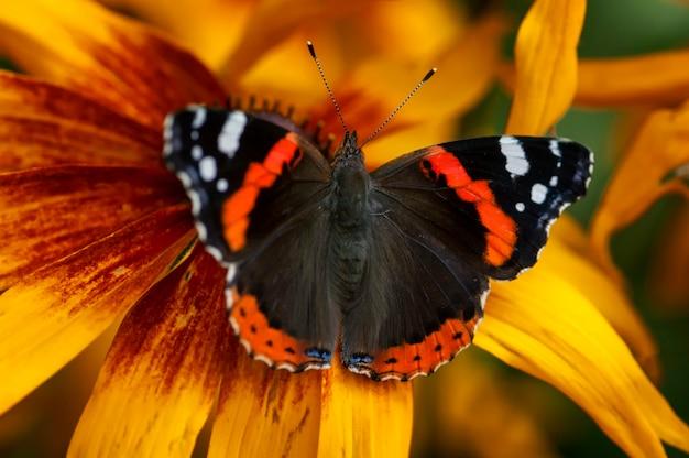 Ванесса аталанта бабочка на цветке