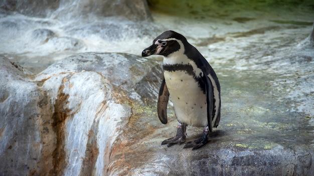 Пингвины гумбольдта стоят в естественной среде, на скалах у воды