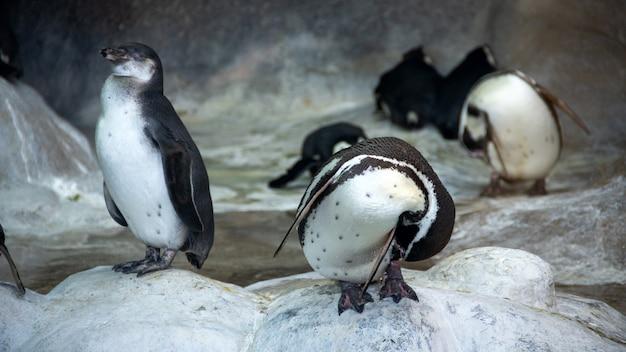 自然環境、水の近くの岩の上に立っているフンボルトペンギン