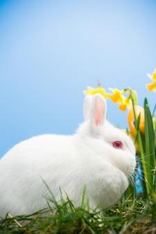 Белый кролик, сидящий рядом с нарциссами с пасхальными яйцами