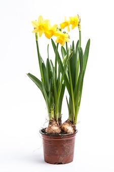 Нарциссы, растущие из луковиц в горшке