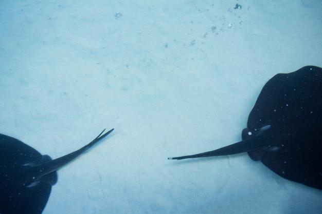 Два мата-луча, купающихся в баке
