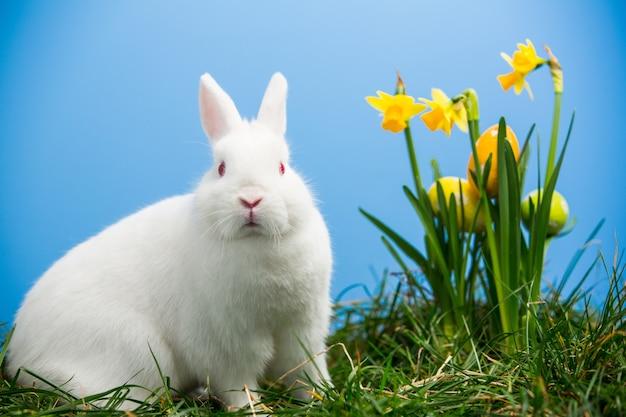 Белый пушистый зайчик, сидящий рядом с нарциссами с пасхальными яйцами