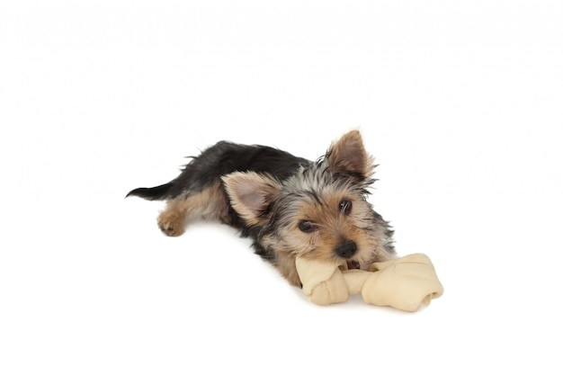 ヨークシャーテリアの子犬