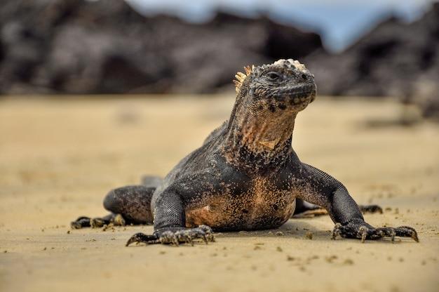 Игуана на пляже