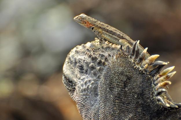 海洋イグアナの頭のトカゲ