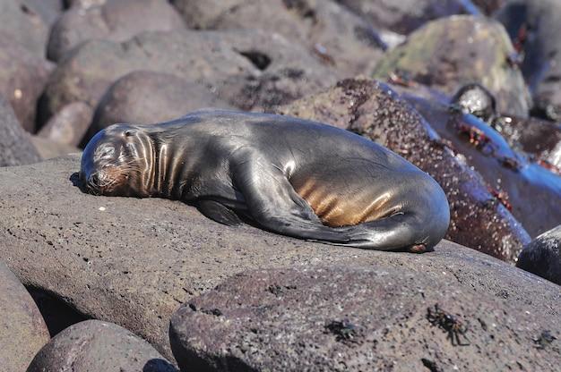 岩の上の眠っているアシカ