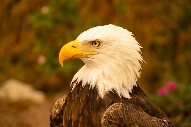 アメリカの白頭ワシ