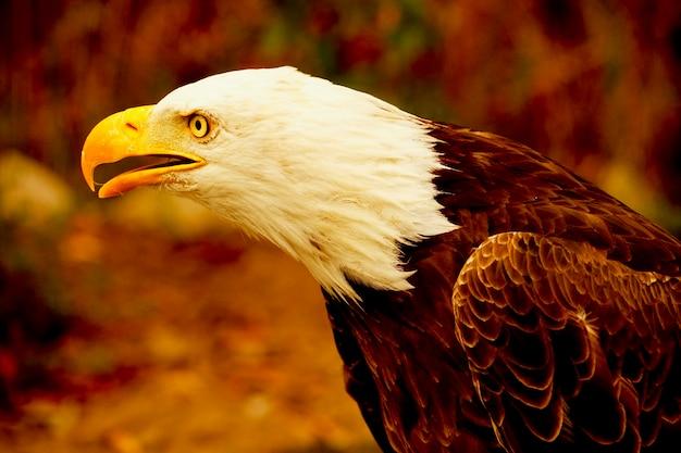 Американский белоголовый орлан