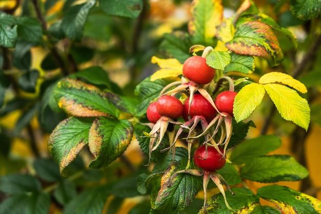 秋の紅葉とブッシュのローズヒップの果実