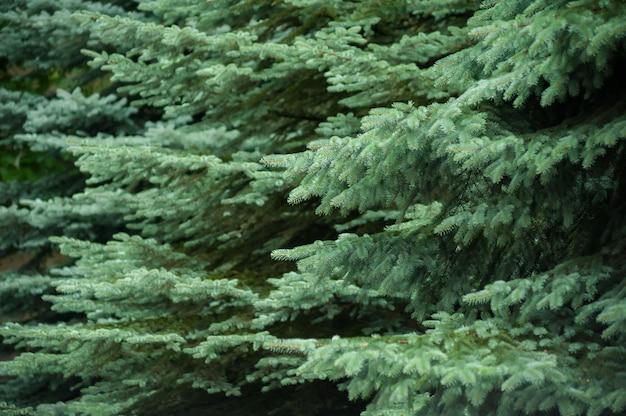 Хвойные деревья фон
