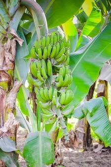 緑のバナナの木の植物