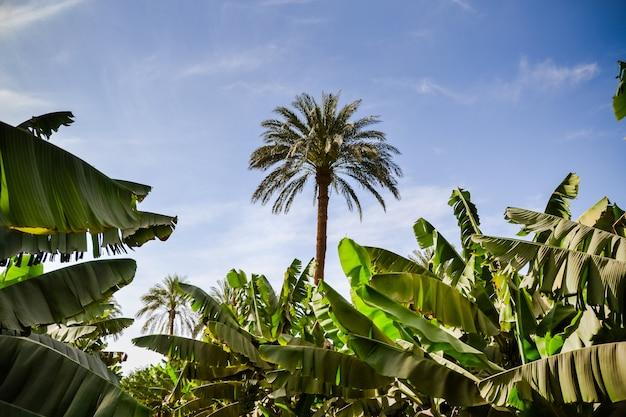 アフリカのバナナ植物の成長