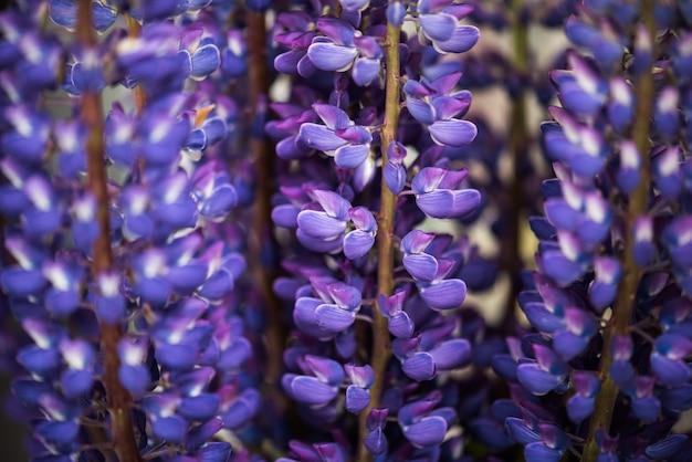 花束のルピナスの花
