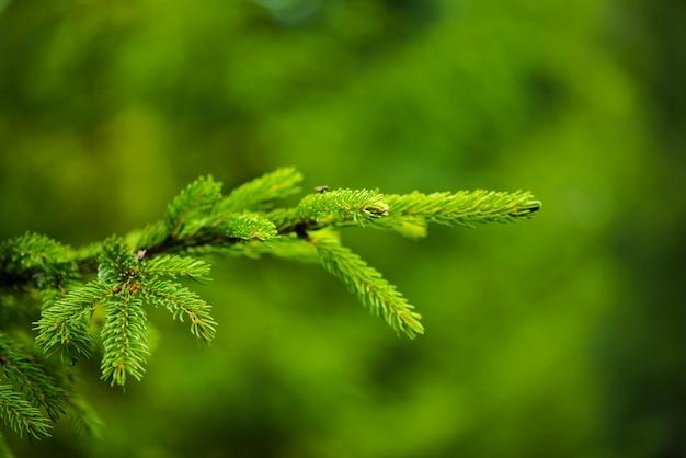 雨の霧の森の針葉樹