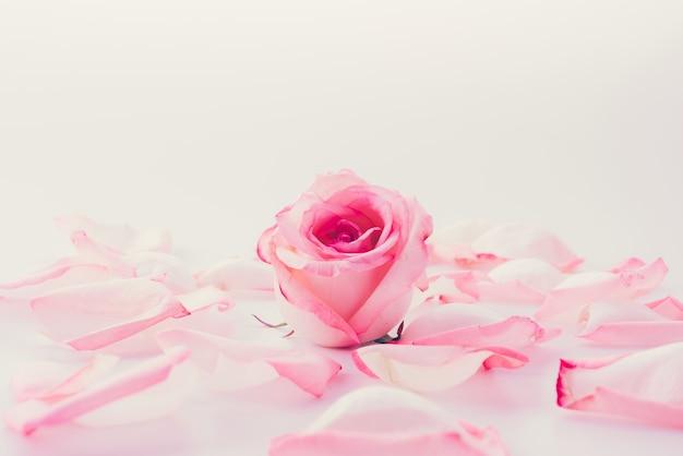 Розовая и белая роза с лепестком