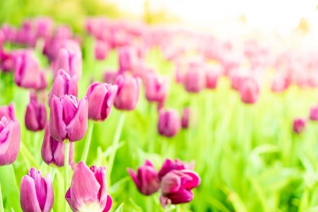 庭の美しいと色とりどりのチューリップ