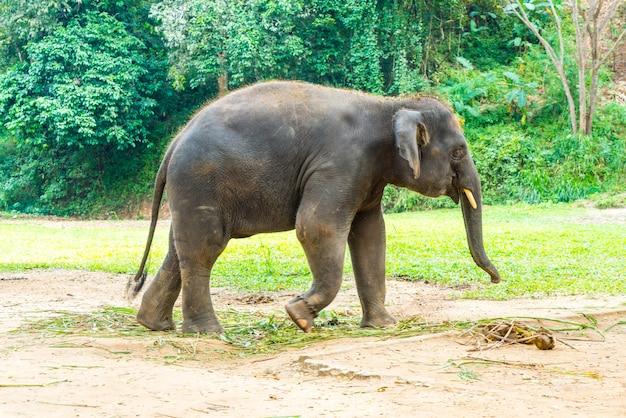 チェンマイ、タイで象