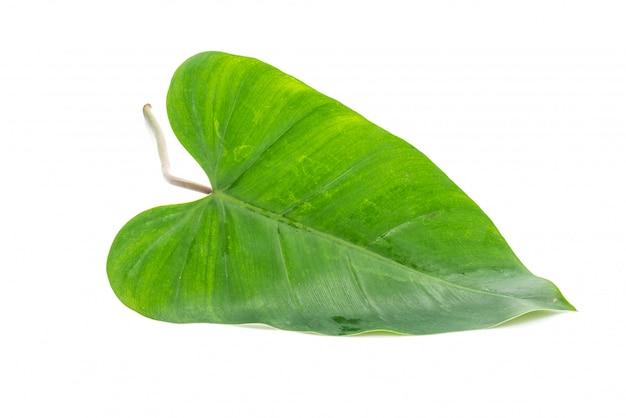 白のモンステラの葉