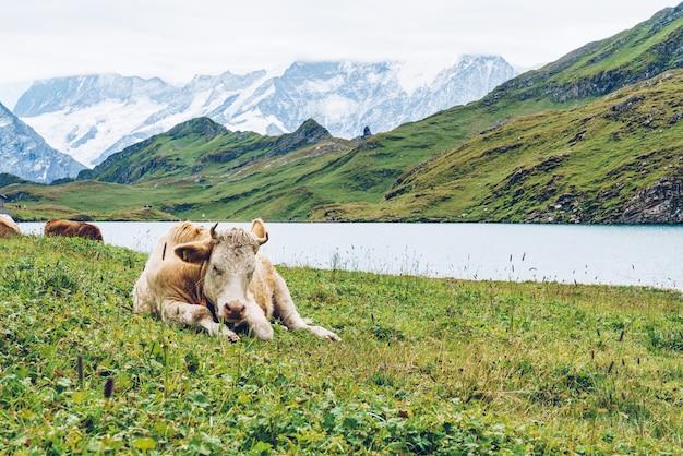スイスの牛アルプスの山グリンデルワルト最初