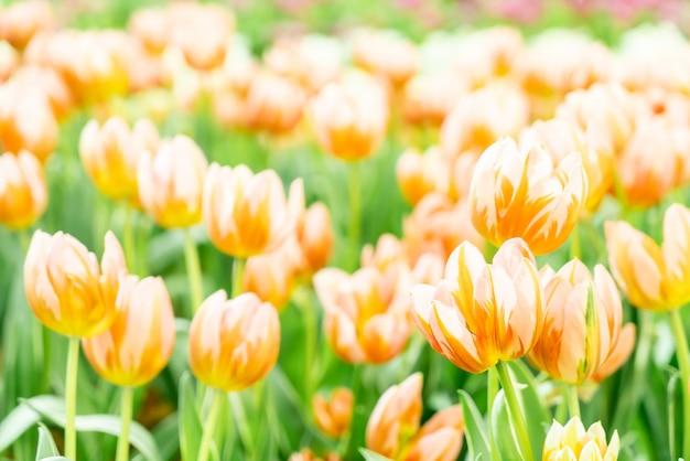 Красивые и красочные тюльпаны в саду