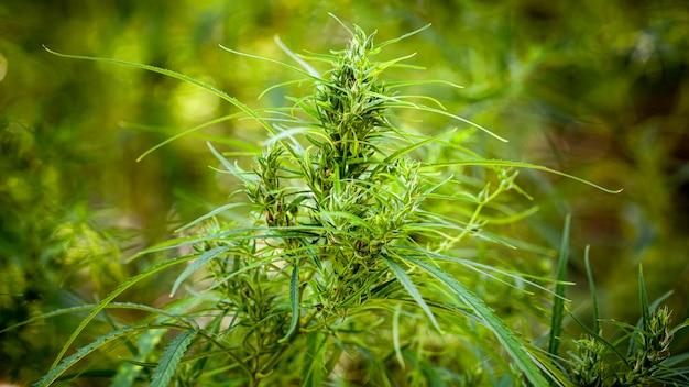 Натуральное растение марихуаны, каннабис, ганджа, ганджха, гашиш, гашиш, конопля, конопля, сорняк, трава