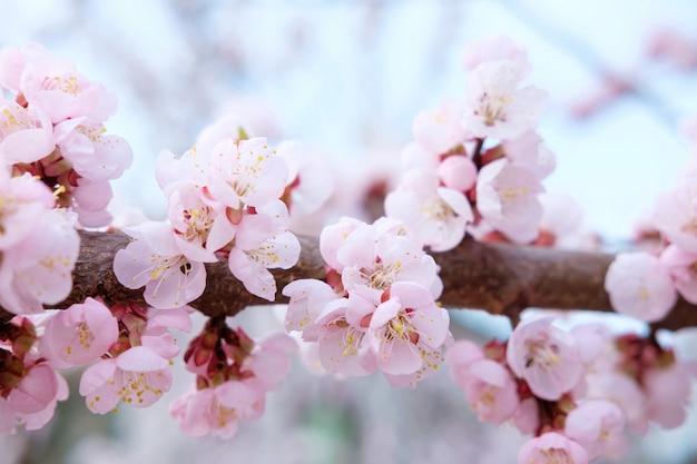 Мягко розовое цветущее дерево сакуры на фоне голубого неба весной