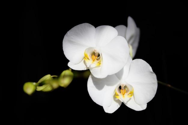 Белая орхидея на черном фоне