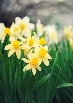 最初の春の花、白と黄色の水仙。