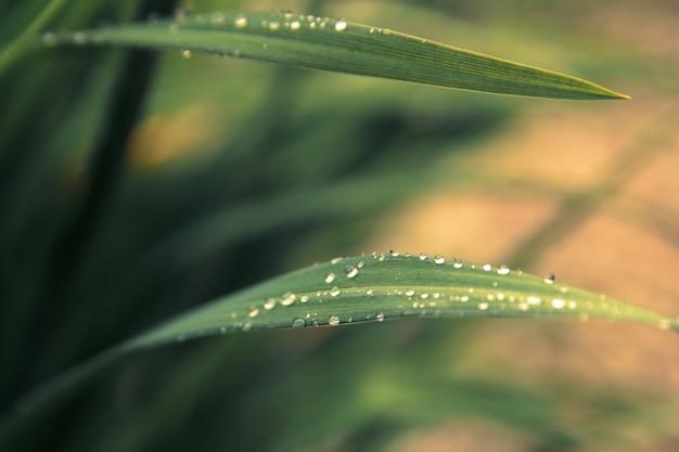 夕日の光線で新鮮な緑の芝生に雨の滴。草と緑の背景