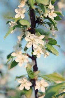 春に咲くリンゴ、ビンテージスタイルのトーン。パステルカラー。