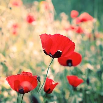 野生の赤いケシの花