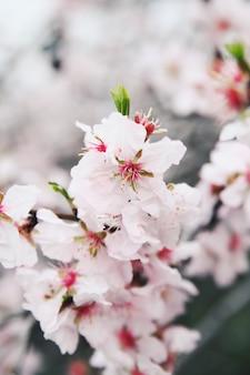 春のアーモンドの花の枝。自然の中での新しい生活。春。