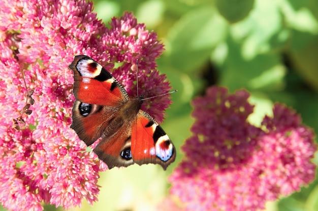ピンクの花の上に座って赤い蝶。