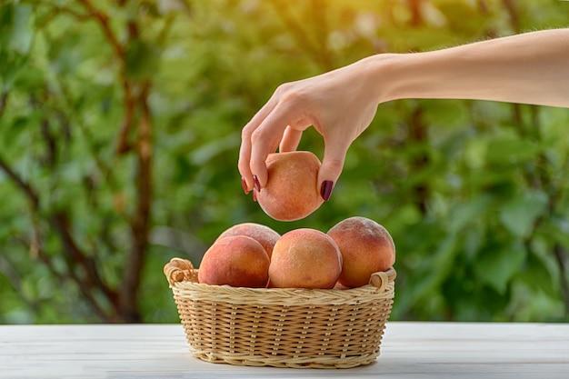 Спелый персик в женской руке. плетеная корзина, зеленый сад на участке. крупный план. фруктовый сезон