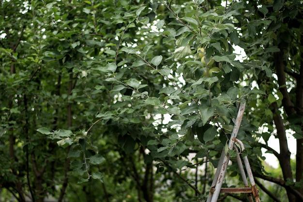 リンゴの木の近くの庭の金属製のはしご。
