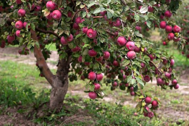 庭の木の枝に熟したリンゴ。セレクティブフォーカス。