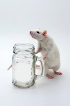 灰色の背景上の透明な瓶の横にある白いラット