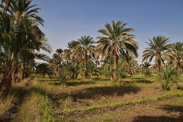 アフリカのサハラ砂漠のオアシス