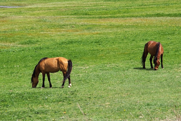 コーカサス、アルメニアの山の馬