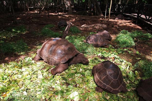 Черепаха на тюремном острове занзибар, танзания