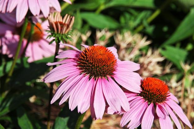 アメリカ合衆国、ニューヨーク市の花