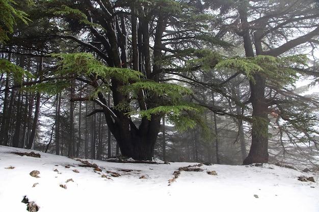 レバノンの山の中の杉の森