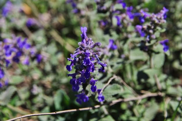 アルメニア、コーカサス山脈の山の花