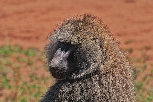 Павиан на сафари в кении и танзании, африке